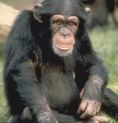 Marsupial Chimpancé