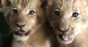 Una leona muy especial y sus cachorros
