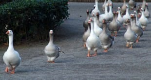 A los gansos les gustan las bandas de música