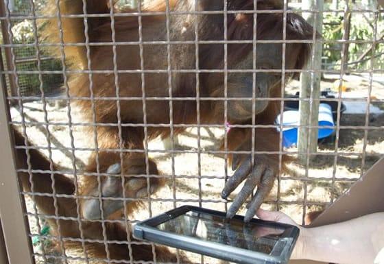 Orangutanes utilizan iPads para comunicarse