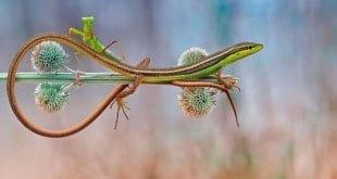Subido sobre el lagarto
