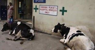 Las vacas también tienen sus derechos