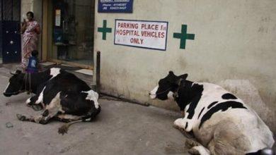 Photo of Las vacas también tienen sus derechos