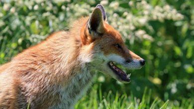 El zorro que envió un mensaje a través del móvil