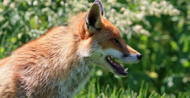 Photo of El zorro que envió un mensaje a través del móvil