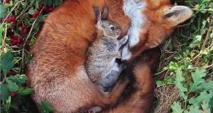 El conejo y el zorro
