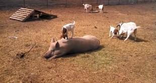 El cerdo paciente