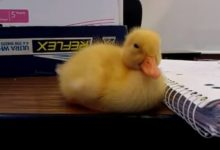 El pequeño pato no puede vencer el sueño