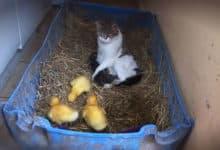 La gata, los gatitos y los patitos