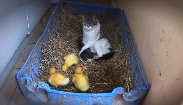 Photo of La gata, los gatitos y los patitos