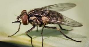 Las moscas pueden ayudar a resolver crímenes