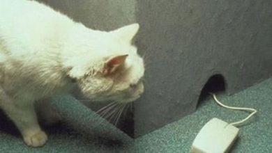 El ratón que sorprende al gato