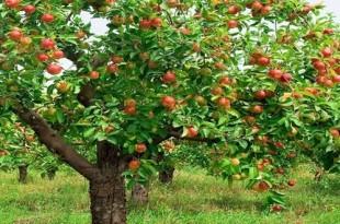 El sabor de las manzanas