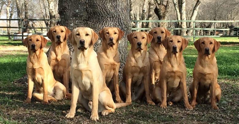 Un perro Labrador Retriever de Abantueso es ideal como animal de compañía