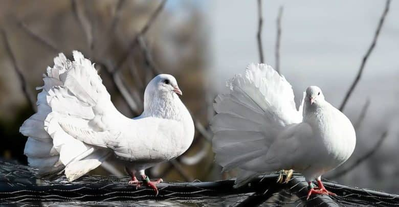 Una paloma, la paloma de guardia
