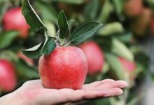 Photo of El sabor de las manzanas y de lo prohibido