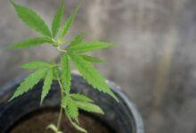 Cultivo de cannabis, ¿interior o exterior?