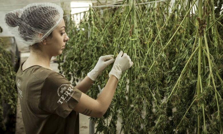 La cultura del cannabis: cada vez más global