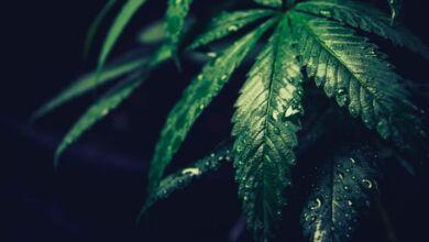 ¿Cómo clonar plantas de cannabis y extraer esquejes para cultivar?
